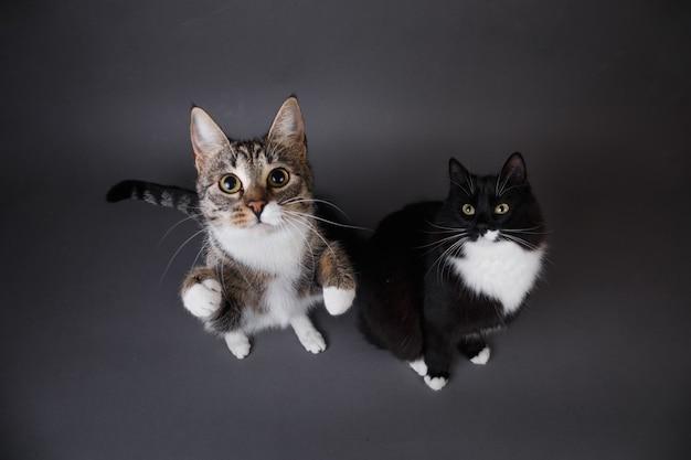 Ritratto di due simpatici gattini un nero e grigio spogliato su sfondo grigio in studio