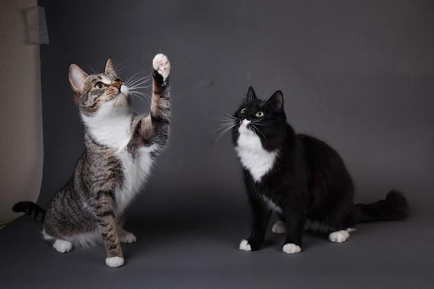 Ritratto di due simpatici gattini un gattino nero e grigio spogliato seduto su sfondo grigio in studio