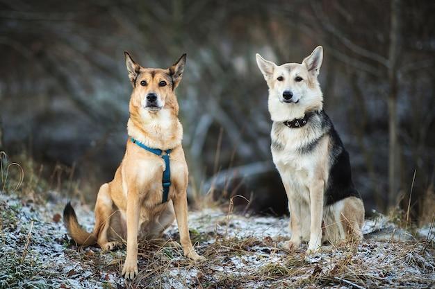 Ritratto di due cani bastardi seduti su un prato invernale