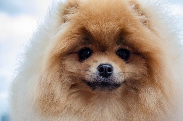 Ritratto di uno spitz-cane pomeranian rosso molto carino e bello