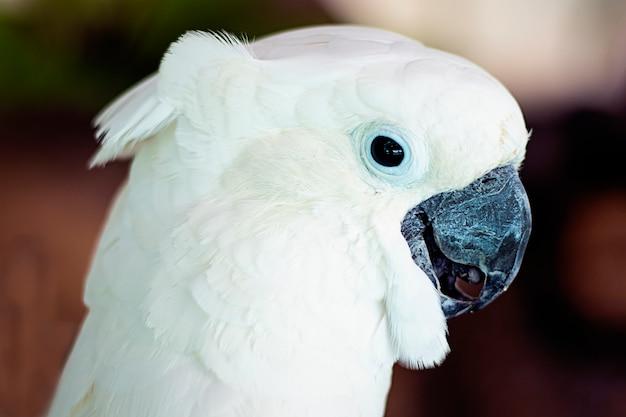 Ritratto di un pappagallo di cacatua bianco