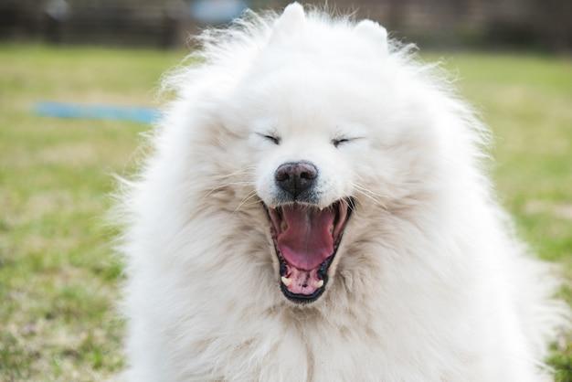 Ritratto di cane samoiedo lanuginoso bianco che sbadiglia all'aperto