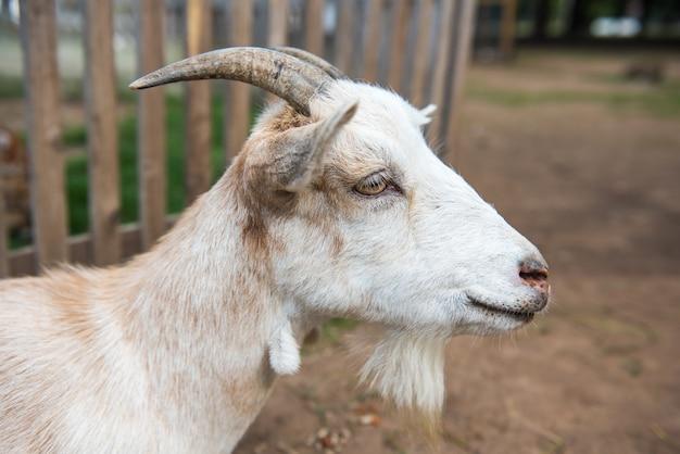 Ritratto di un primo piano della capra bianca nella fattoria nel cortile.