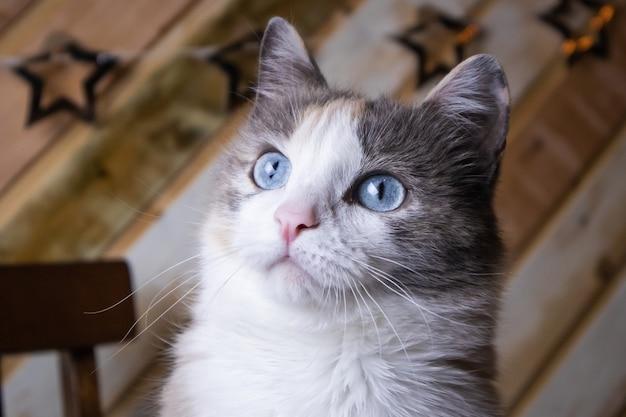 Ritratto di un gatto dagli occhi blu grigio bianco