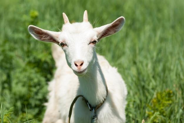 Ritratto di una giovane capra bianca su uno sfondo di erba verde.