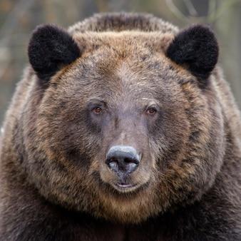 Ritratto selvaggio grande orso bruno ritratto nella foresta. pericolo animale nell'habitat naturale.