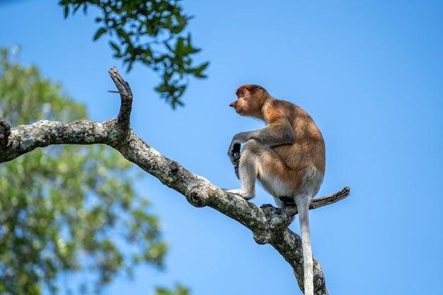 Ritratto di una scimmia proboscide selvaggia o nasalis larvatus, nella foresta pluviale dell'isola di borneo, malesia, vicino. scimmia incredibile con un grande naso.