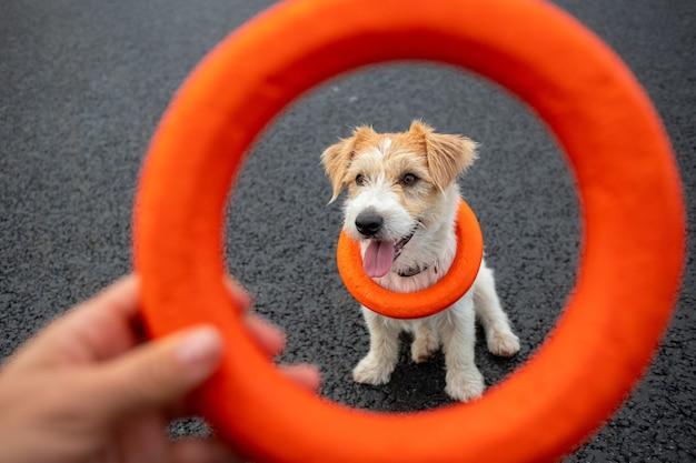 Ritratto di un jack russell terrier dai capelli metallici con un giocattolo intorno al collo attraverso un anello di gomma arancione