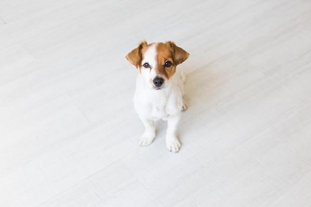 Ritratto di un giovane bellissimo cane seduto sul pavimento di legno e guardando la telecamera.