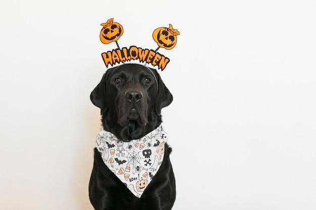 Ritratto di un giovane carino bellissimo labrador nero che indossa un diadema di halloween e una bandana. in casa
