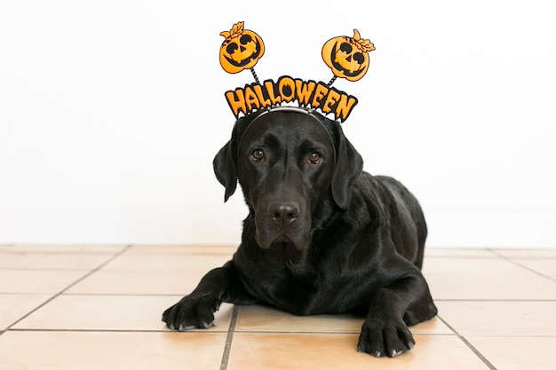Ritratto di un giovane labrador nero carino carino indossa un diadema di halloween. in casa