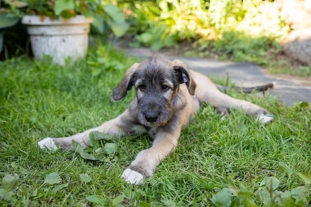 Il ritratto di giovane levriero irlandese sul cucciolo di levriero verde prato si rilassa si diverte nel parcoritratto di una razza di cane in un giardino estivo