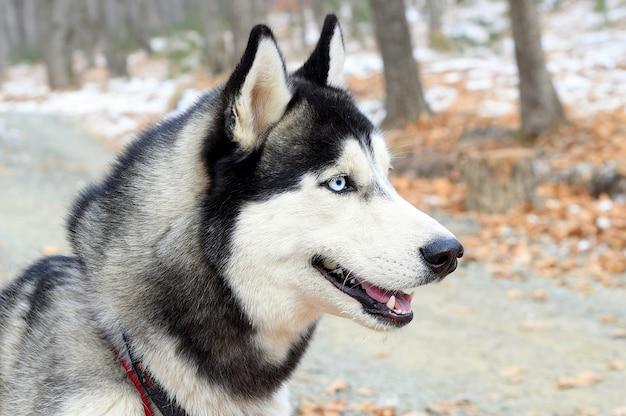 Ritratto di giovane siberian husky che guarda lontano