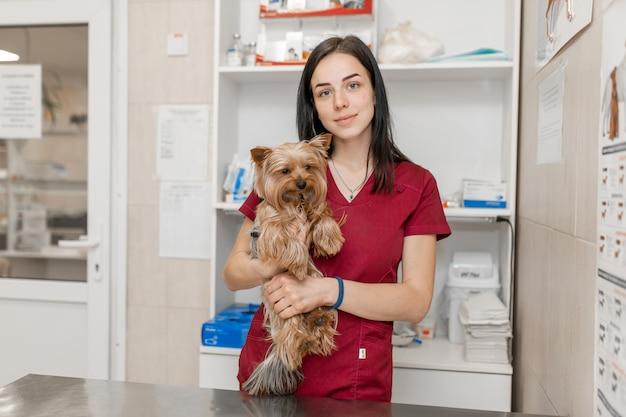 Il ritratto di giovane medico veterinario tiene l'yorkshire terrier