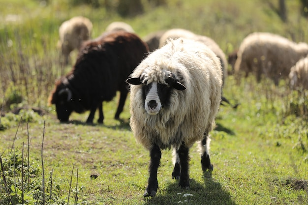 Portret di pecore pascola all'esterno nell'erba nel prato. branco di pecore e montoni. messa a fuoco selettiva.