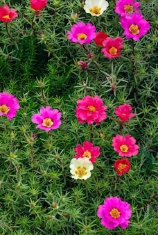 I fiori di portulaca oleracea hanno fotografato il primo piano. vegetazione ornamentale in giardino.