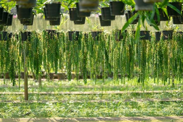 Bella pianta ornamentale portulacaria appesa alla pentola