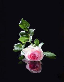 Cartolina con delicata rosa inglese rosa con gocce di pioggia su uno sfondo nero a specchio con la riflessione
