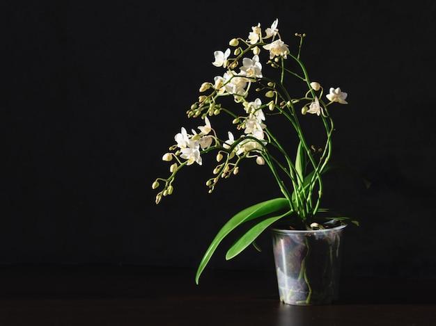 Vaso con un'orchidea bianca su sfondo nero. allevamento di orchidee. orchidea bianca di phalaenopsis in un vaso