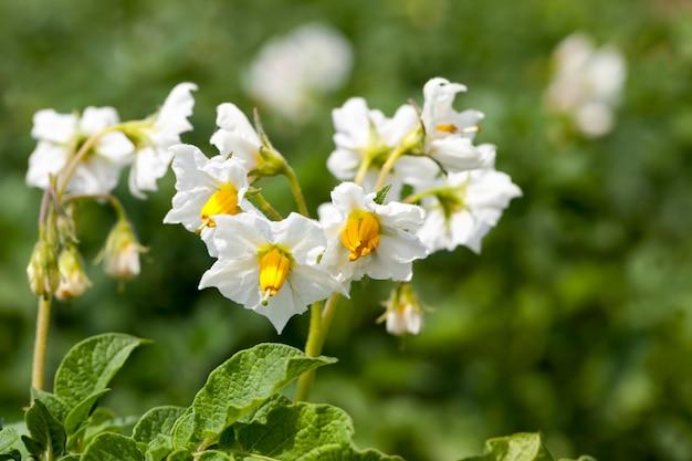 Patata che fiorisce durante la crescita, un campo agricolo con una pianta di patate in estate