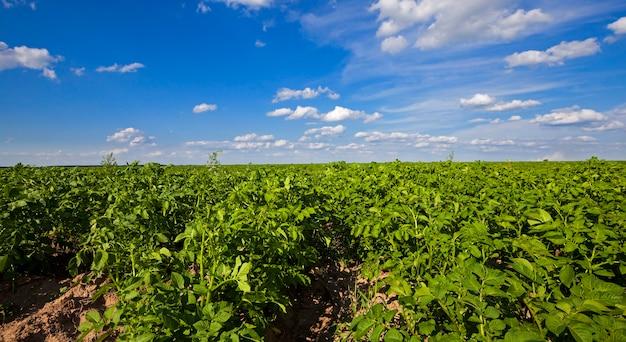 Campo di patate - un campo agricolo su cui crescono le patate. estate dell'anno