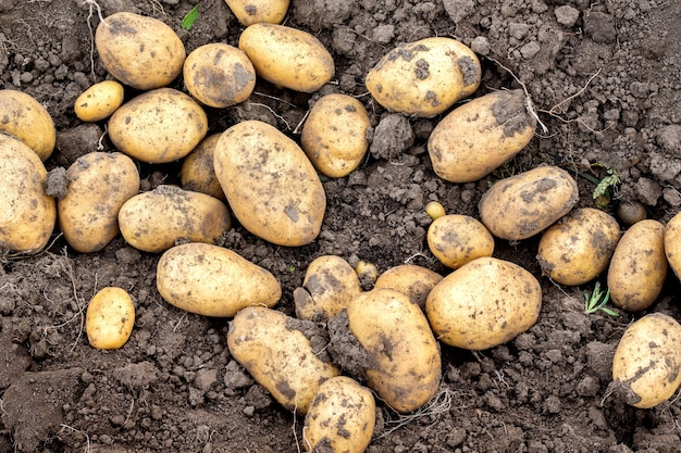 Raccolta delle patate sul letto da vicino. patate in crescita