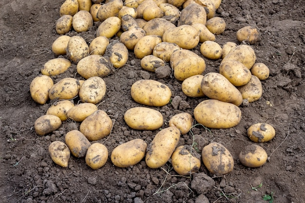 Raccolta delle patate sul letto. patate in crescita