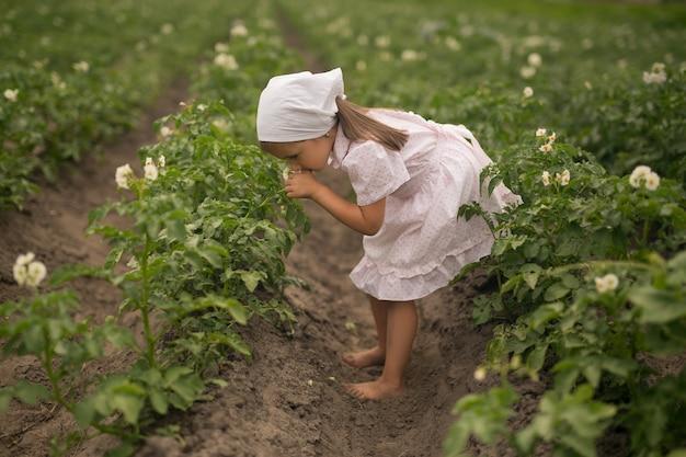 Letti di piante di patate in una fattoria. giovane pianta di patata che cresce sul terreno. patate in giardino al culmine della fioritura.
