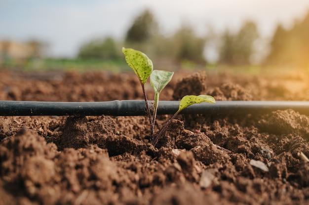 Pianta di patata che germina nel terreno accanto all'irrigazione a goccia e alla luce del sole