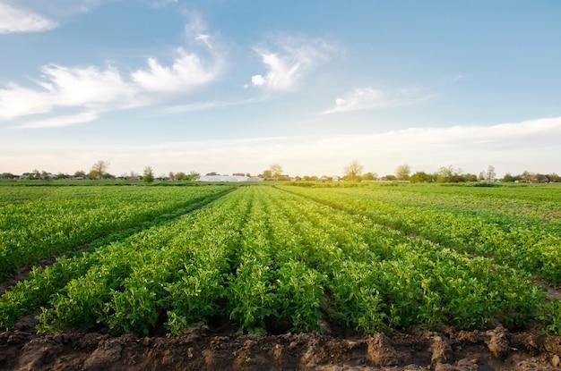 Le piantagioni di patate crescono nel campo in una giornata di sole primaverile