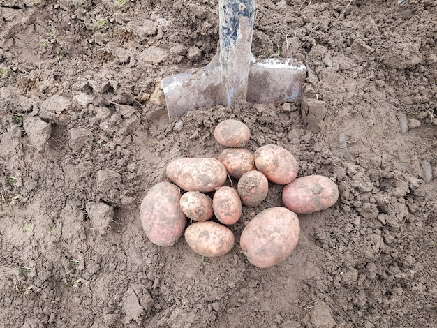 Le patate scavate con la pala giacciono per terra