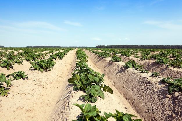 Patate in campo campo agricolo su cui crescono patate, solchi di patate