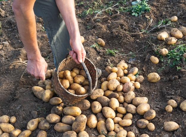 Patate fresche da terra. uomo che raccoglie patate. agricoltura.