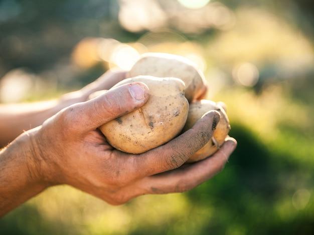 Patate coltivate in giardino. agricoltore che tiene le verdure nelle loro mani. cibo