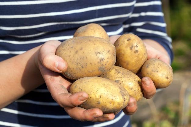 Le patate in mano hanno scavato le patate che si trovano nelle mani di una piccola profondità di campo del primo piano della donna