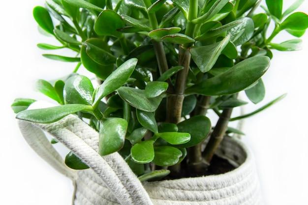 Pianta domestica di crassula ovata o pigmyweeds in vaso isolata su fondo bianco closeup