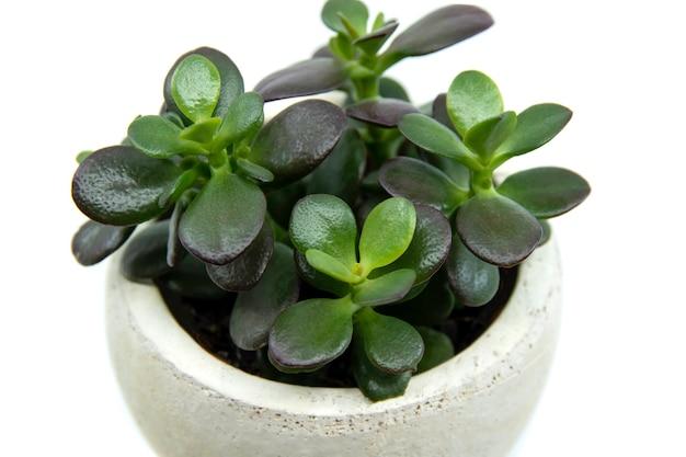 Crassula ovata in vaso o pianta domestica pigmyweeds isolata su sfondo bianco piccola crassula ovata