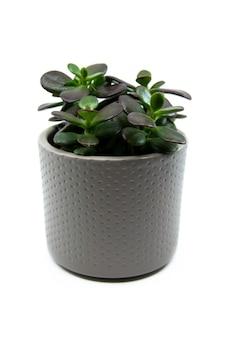 Pianta domestica in vaso di crassula ovata o pigmyweeds isolata su fondo bianco