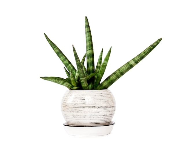 Sansevieria cylindrica in vaso var. patula (boncel) isolata on white