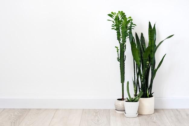 Succulente in vaso (euphorbia trigona, huernia e sansevieria) che rimangono sul pavimento sul fondo bianco della parete. copia spazio
