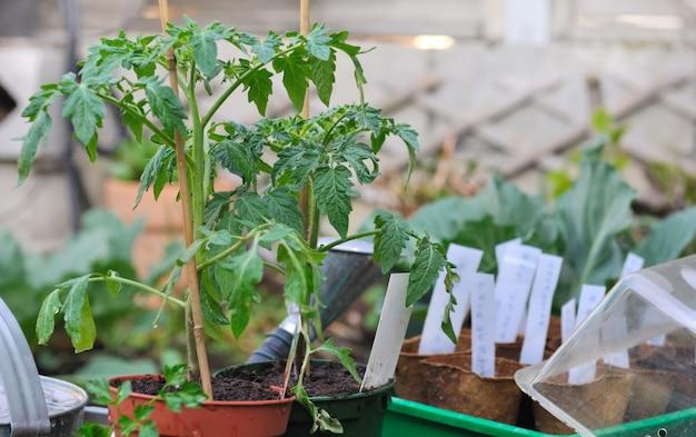 Piante di pomodoro in vaso in giardino con altre piantine
