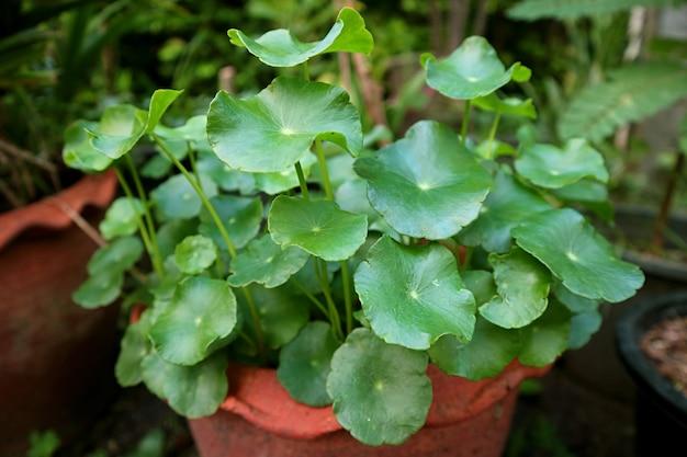 Acqua in vaso pennywort plant o hydrocotyle umbellata nel cortile