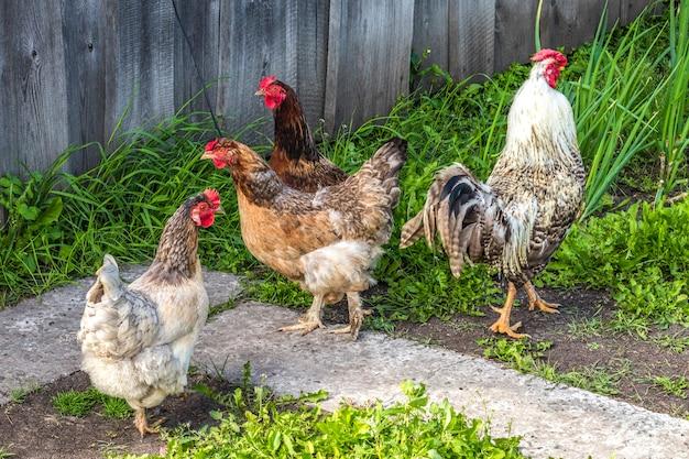 Pollame, galline e galli passeggiano per strada in estate