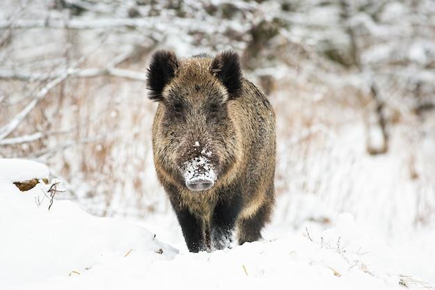 Potente cinghiale in piedi nella neve davanti alla telecamera e guardare in inverno.