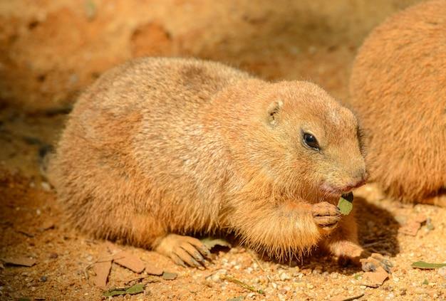Cane della prateria che mangia una foglia nello zoo di praga