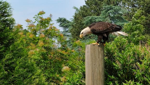 Uccello predatore sull'albero. l'aquila di falco mutevole o l'aquila di falco crestata nisaetus cirrhatus Foto Premium