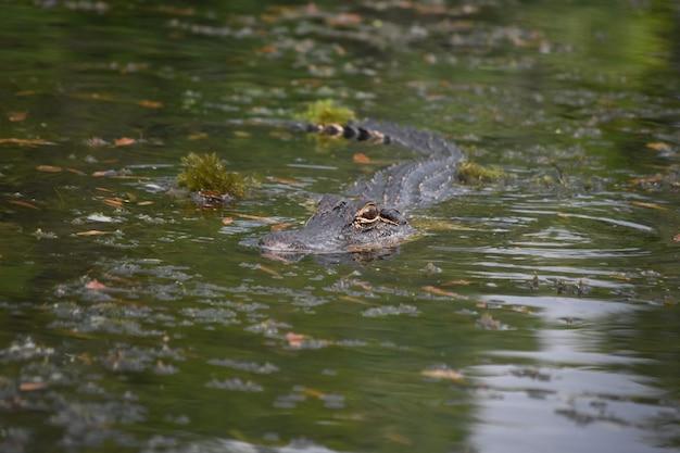 Alligatore predatore che nuota nel bayou della louisiana meridionale
