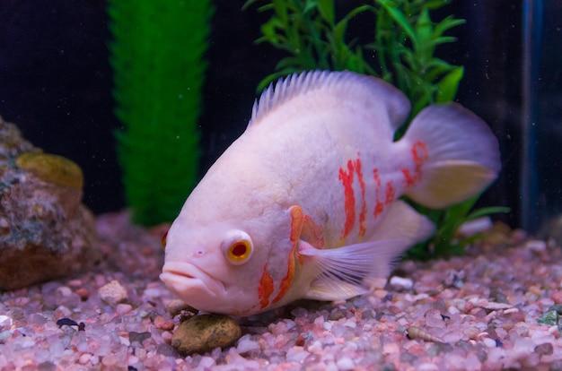 Primo piano di pesci predatori della specie astronotus okellatus