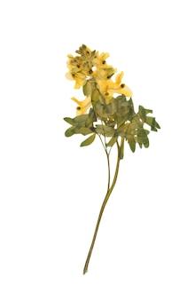 Fiore secco pressato isolato