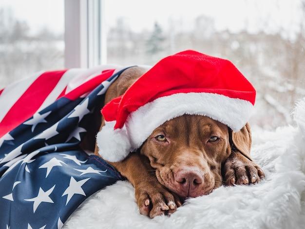 Cucciolo grazioso e affascinante color cioccolato e decorazioni natalizie.
